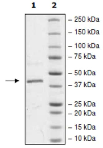 SDS-PAGE - Recombinant human p38 protein (Active) (ab271606)
