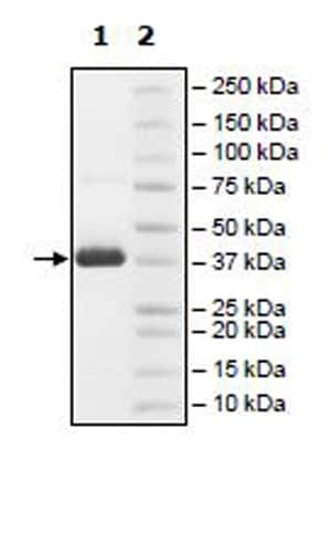 SDS-PAGE - Recombinant Human MAT2B/TGR protein (His tag) (ab271607)