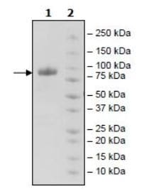 SDS-PAGE - Recombinant Human MICA protein (Tagged) (ab271612)