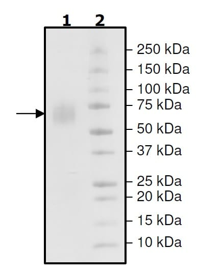 SDS-PAGE - Recombinant Mouse Poliovirus Receptor/PVR protein (His tag) (ab271624)