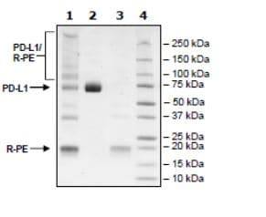 SDS-PAGE - Recombinant Mouse PD-L1 protein (Tagged) (ab271627)