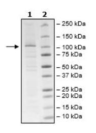 SDS-PAGE - Recombinant Human NLRP3 (mutated K232 A) protein (Tagged) (ab271629)