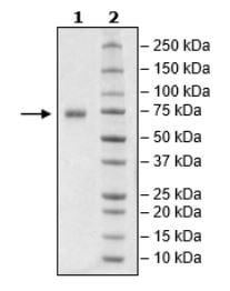 SDS-PAGE - Recombinant Human NCR1 protein (Tagged) (ab271633)