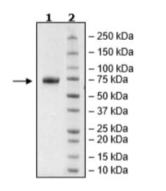 SDS-PAGE - Recombinant Human NCR1 protein (Tagged) (Biotin) (ab271634)