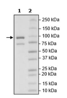 SDS-PAGE - Recombinant Human NLRP3 protein (Tagged) (ab271636)