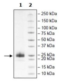SDS-PAGE - Recombinant Mouse CD134 protein (Tagged) (ab271645)