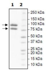 SDS-PAGE - Recombinant human PI 3 Kinase p85 alpha protein (Active) (ab271646)