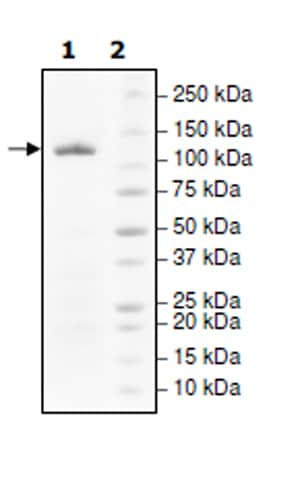 SDS-PAGE - Recombinant human PARP1 protein (Active) (ab271649)