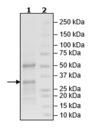 SDS-PAGE - Recombinant Human PARP7 protein (Tagged) (ab271651)