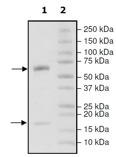 SDS-PAGE - Recombinant human PCSK9 (mutated D374 T) protein (Active) (Biotin) (ab271652)