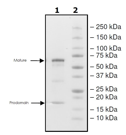 SDS-PAGE - Recombinant human PCSK9 protein (Active) (Biotin) (ab271653)