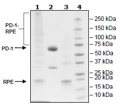 SDS-PAGE - Recombinant Human PD1 protein (Tagged) (ab271668)