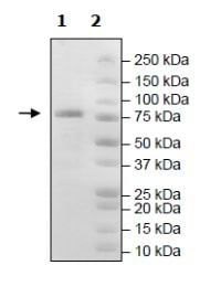 SDS-PAGE - Recombinant mouse PDE1B protein (Active) (ab271672)