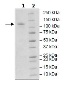 SDS-PAGE - Recombinant mouse PDE2A protein (Active) (ab271673)