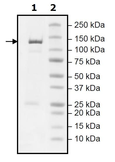 SDS-PAGE - Recombinant mouse PDE2A protein (Active) (ab271674)