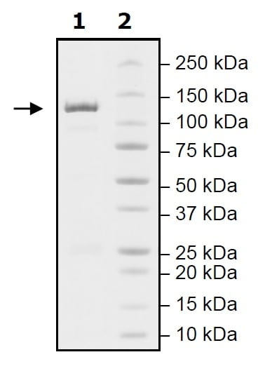 SDS-PAGE - Recombinant mouse PDE2A protein (Active) (ab271675)