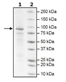 SDS-PAGE - Recombinant dog PDE3A protein (Active) (ab271677)