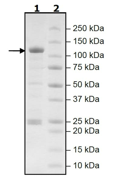 SDS-PAGE - Recombinant human PDE4D7 protein (Active) (ab271681)