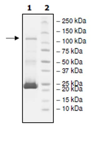 SDS-PAGE - Recombinant human PDE6C protein (Active) (ab271682)