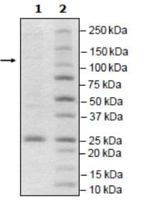 SDS-PAGE - Recombinant mouse PDE6C protein (Active) (ab271683)
