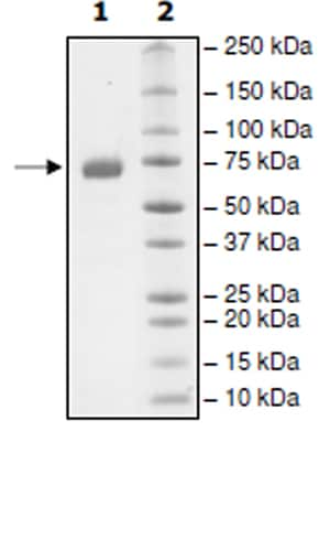 SDS-PAGE - Recombinant Human PD-L1 protein (Tagged) (Biotin) (ab271690)
