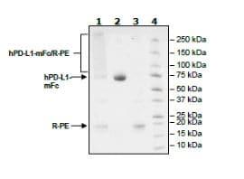 SDS-PAGE - Recombinant Human PD-L1 protein (Tagged) (ab271694)