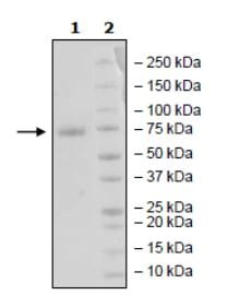 SDS-PAGE - Recombinant Human PD-L1 (mutated K124 A) protein (Tagged) (ab271696)