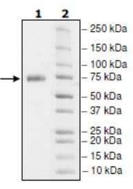 SDS-PAGE - Recombinant Human PD-L1 (mutated K124A) protein (Tagged) (Biotin) (ab271697)