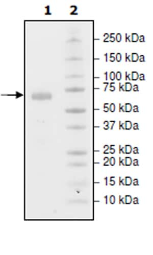 SDS-PAGE - Recombinant Human PD-L1 protein (Tagged) (Biotin) (ab271698)