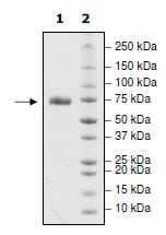 SDS-PAGE - Recombinant Human PD-L1 (mutated R113 A) protein (Tagged) (Biotin) (ab271700)