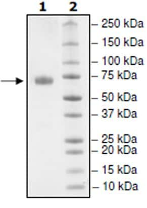SDS-PAGE - Recombinant Human PD-L1 (mutated T20 Q) protein (Tagged) (Biotin) (ab271703)