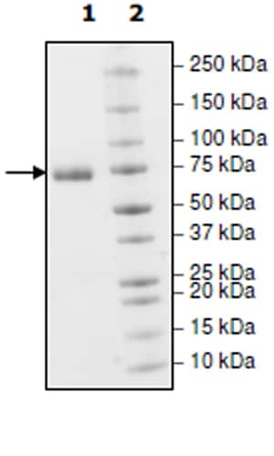 SDS-PAGE - Recombinant Human PD-L1 (mutated Y56 A) protein (Tagged) (Biotin) (ab271706)