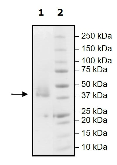 SDS-PAGE - Recombinant human PD-L1 protein (Active) (ab271707)