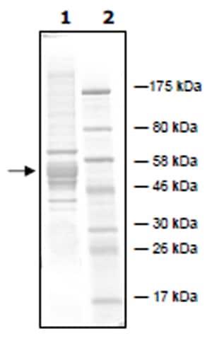 SDS-PAGE - Recombinant <em>P. falciparum</em> PfHDAC1 protein (Active) (ab271711)