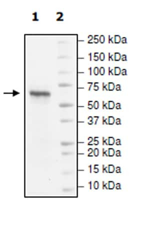 SDS-PAGE - Recombinant human PHF8 protein (Active) (ab271712)