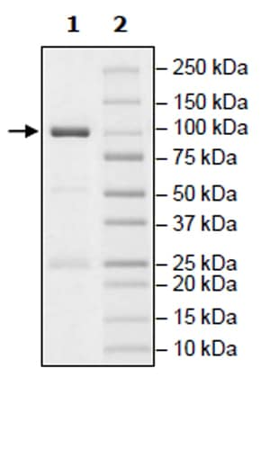 SDS-PAGE - Recombinant human PKC alpha protein (Active) (ab271714)