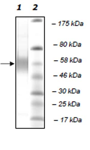 SDS-PAGE - Recombinant human PLA2G7 protein (Active) (ab271715)