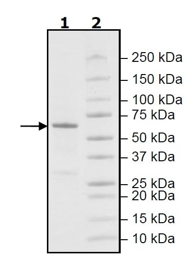 SDS-PAGE - Recombinant human PLK1 protein (Active) (ab271716)