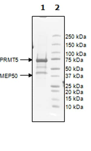 SDS-PAGE - Recombinant human PRMT5 + MEP50 protein (Active) (ab271721)