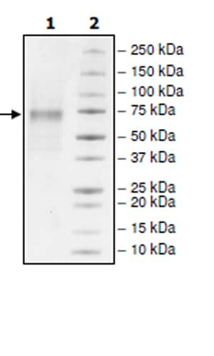 SDS-PAGE - Recombinant Rat Angiopoietin 2/ANG2 protein (His tag) (ab271730)