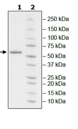 SDS-PAGE - Recombinant mouse RIP protein (Active) (ab271733)