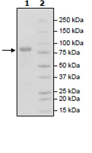 SDS-PAGE - Recombinant Human ROR2 protein (Tagged) (Biotin) (ab271735)