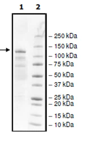 SDS-PAGE - Recombinant human KMT1E / SETDB1 protein (Active) (ab271738)
