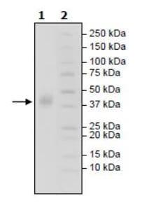 SDS-PAGE - Recombinant Human SLAMF7/CS1 protein (Tagged) (ab271745)