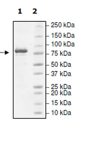 SDS-PAGE - Recombinant human SMYD4 protein (Active) (ab271747)