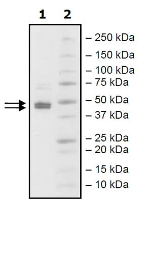 SDS-PAGE - Recombinant human SP1 protein (Active) (ab271748)