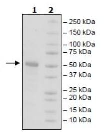 SDS-PAGE - Recombinant Human TAC1 protein (Tagged) (ab271751)