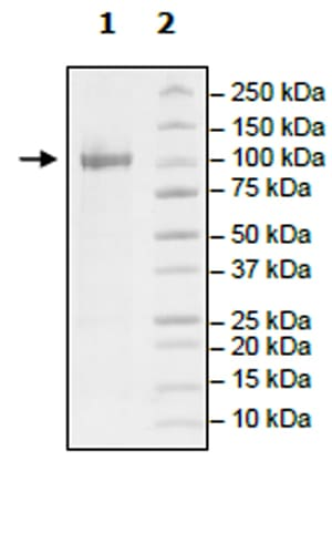 SDS-PAGE - Recombinant human NAK/TBK1 protein (Active) (ab271752)