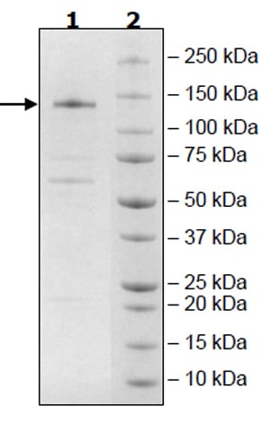 SDS-PAGE - Recombinant Human Tet2 protein (Tagged) (ab271755)
