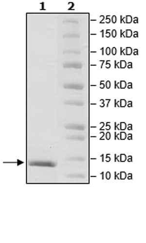 SDS-PAGE - Recombinant human TGF beta 1 protein (Active) (ab271757)